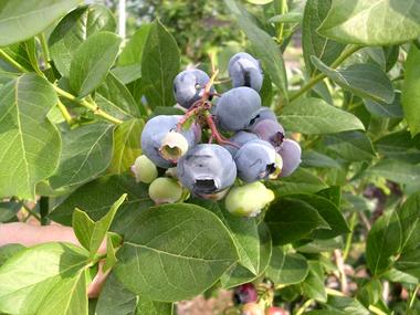 Berry1_1